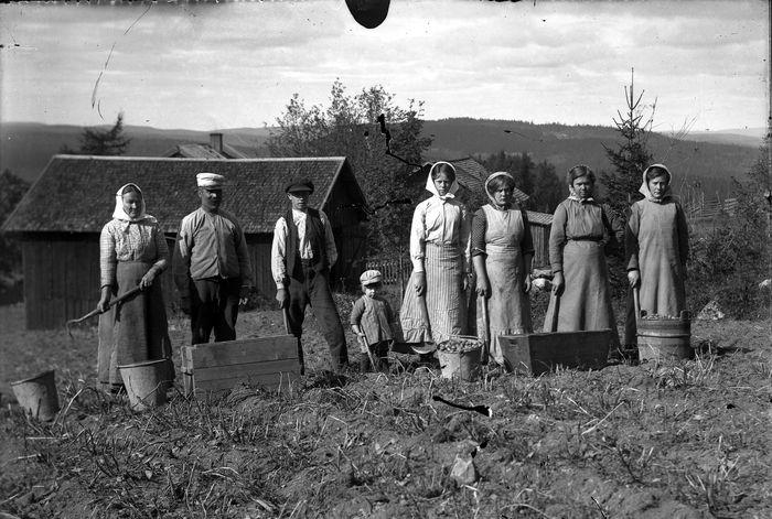 Potatisplockning 1914, glasplåt, foto: Rich. Johansson (farfarsarv.blogg.se).